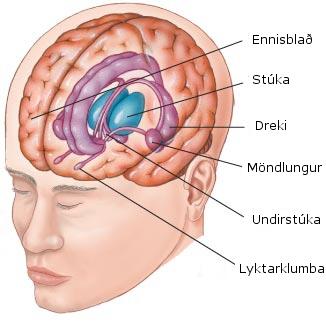 Randkerfið - limbic system