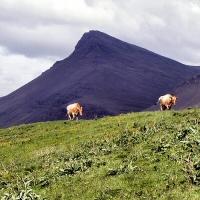 Kýr við Akrafjall